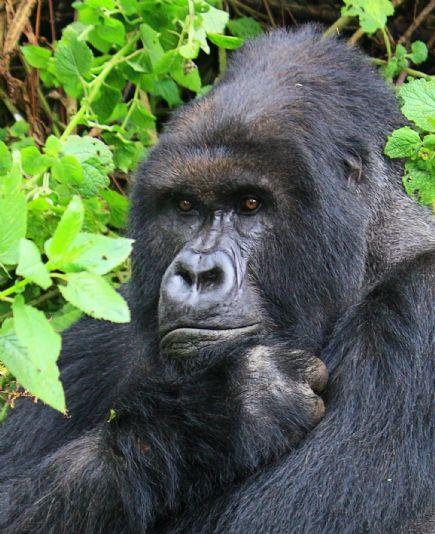 Uganda y ruanda gorilas en la niebla for Gorilas en la niebla
