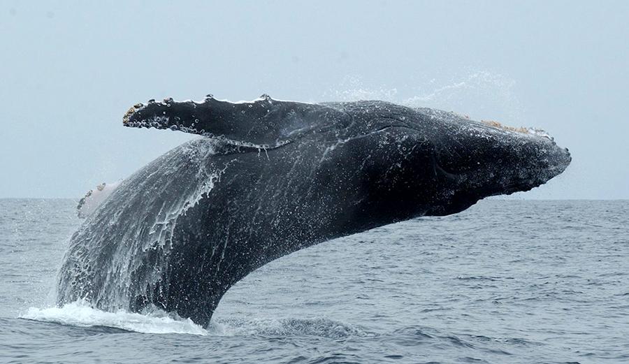 ballena-saltando-gabonuntouched