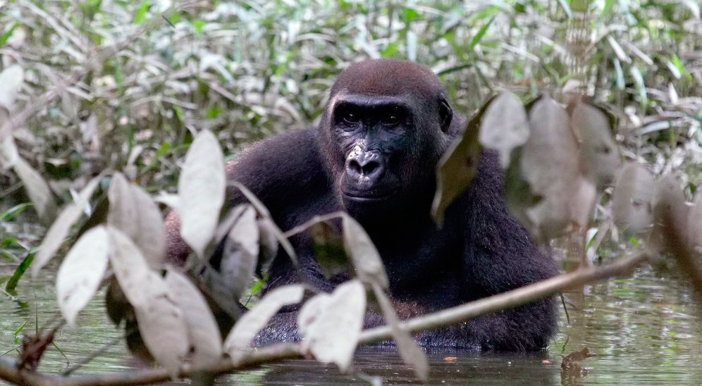 viaje-gabon-selva-gorila-gabonuntouched