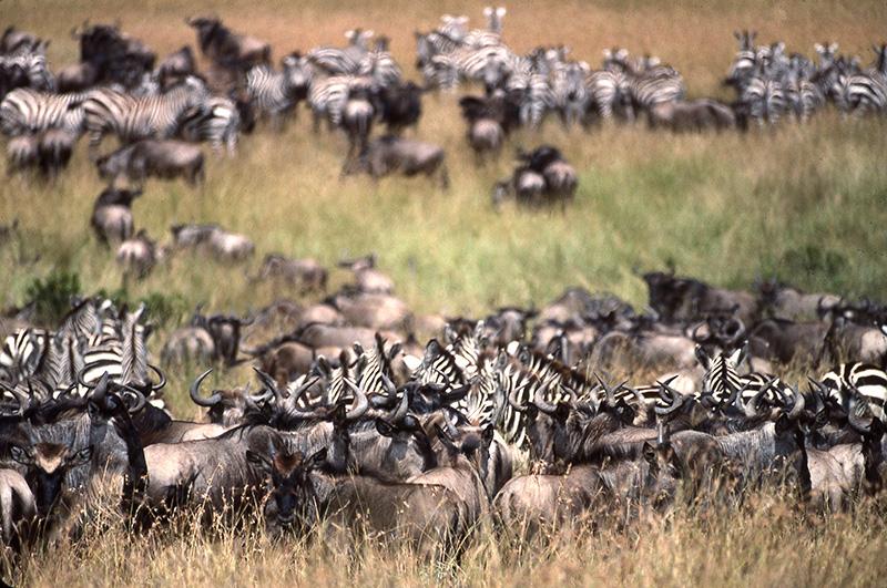 Manadas de cebras y ñús en Kenya | Foto © Ignasi Rovira