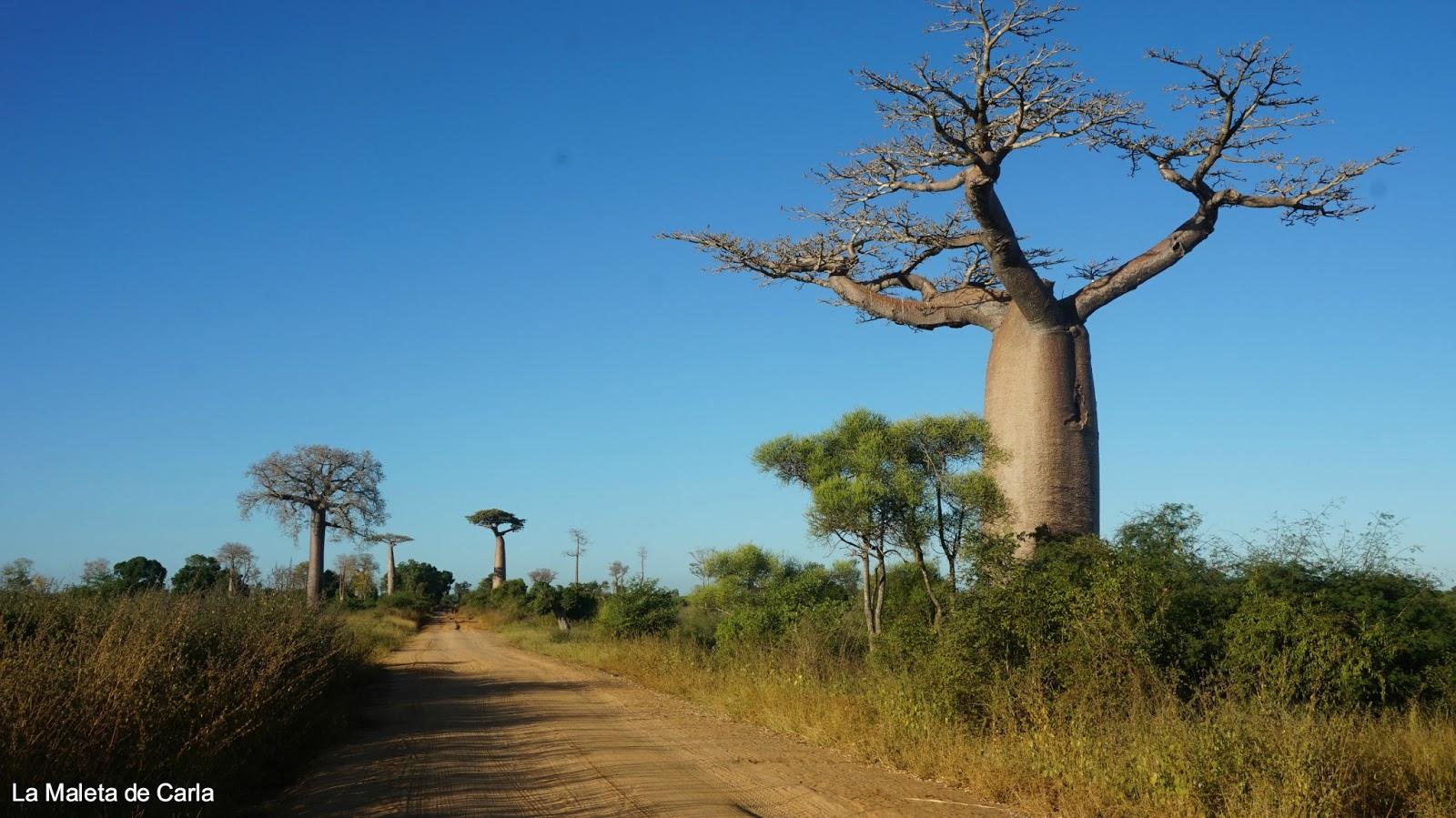 Avenida de los baobabs | Foto © La maleta de Carla