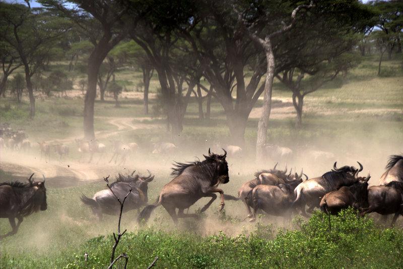 Ñus a la carrera en Tanzania | Foto © Joan Vidal