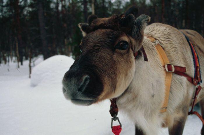 fotos del viaje a Finlandia Multiaventura invernal en la región de Koillismaa autor:Pere Mongay