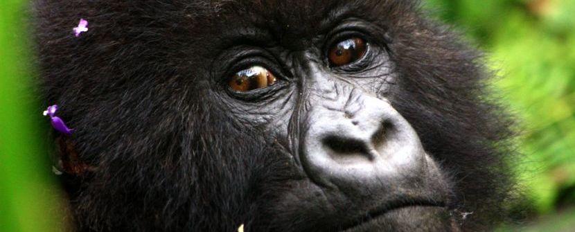 Uganda y Rwanda - Gorilas de montaña