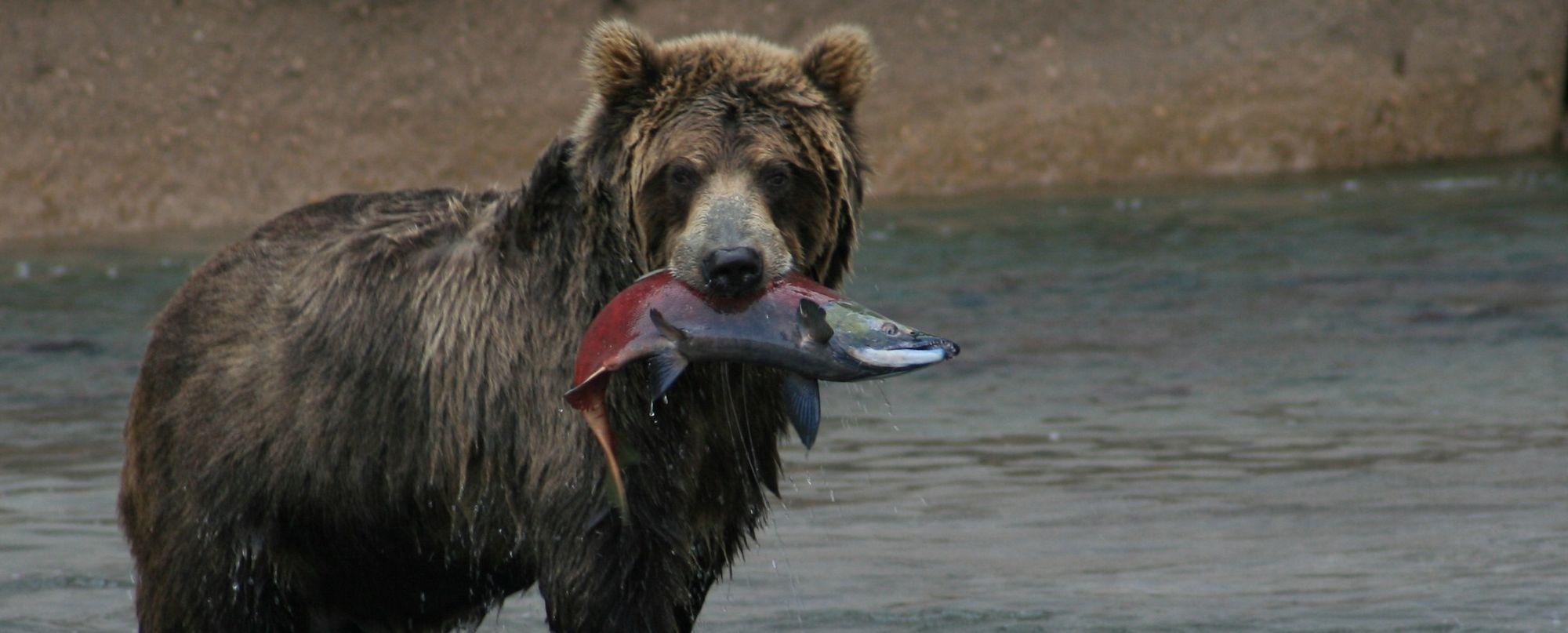 Rusia - Kamchatka - Ríos, osos y volcanes