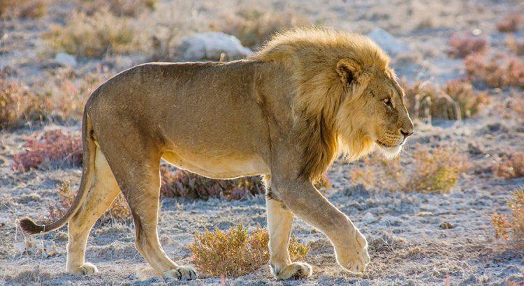 León en Namibia | Foto © J.C. Casado