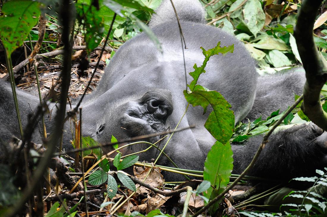 Gorilas en Uganda - Autor archivo Tuareg