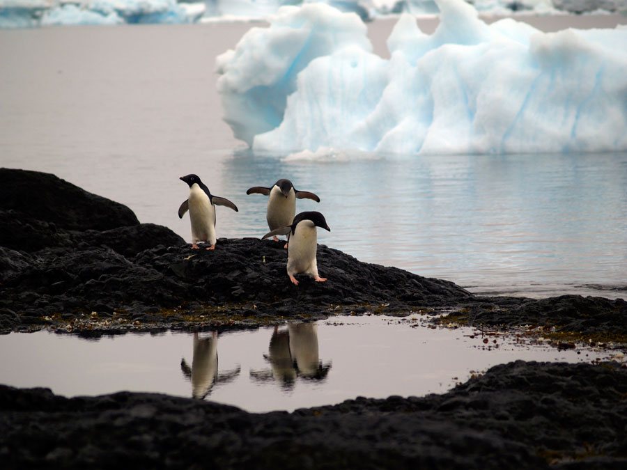 Pinguinos en la Antártida. Viatges Tuareg