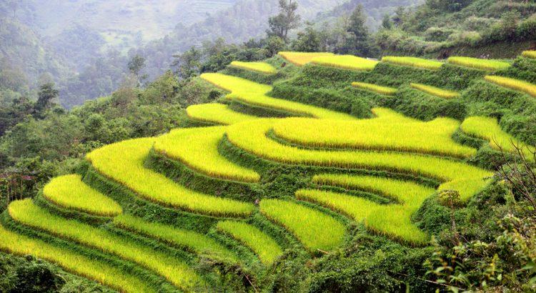 Plantaciones de arroz en Vietnam | Foto © David Galindo
