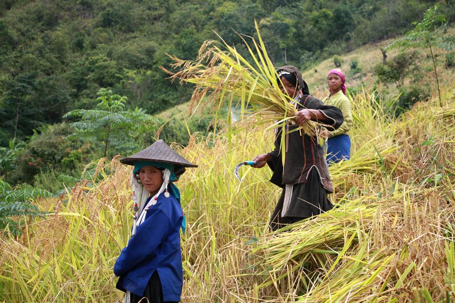 Viaje a Myanmar: Mujeres Akha cosechando arroz. AUtor fotografía Antonio Fernández