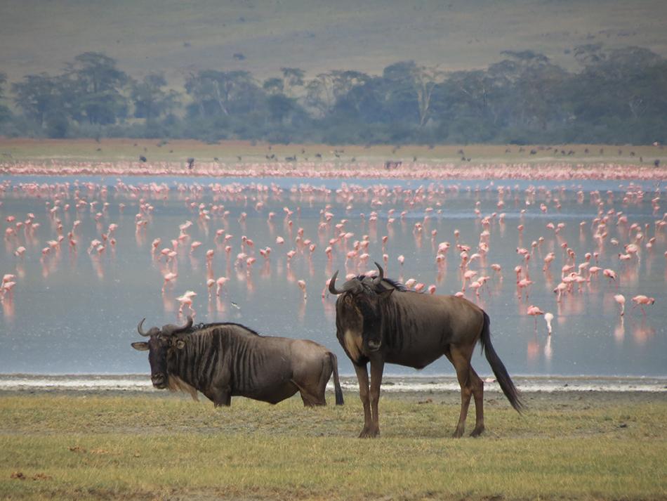 Manada de ñus en Tanzania | © Jordi Rodriguez