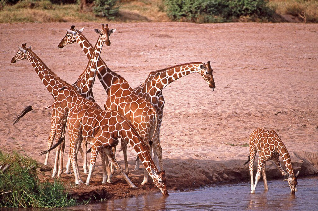 Grupo de jirafas en Kenya   Foto © Ignasi Rovira