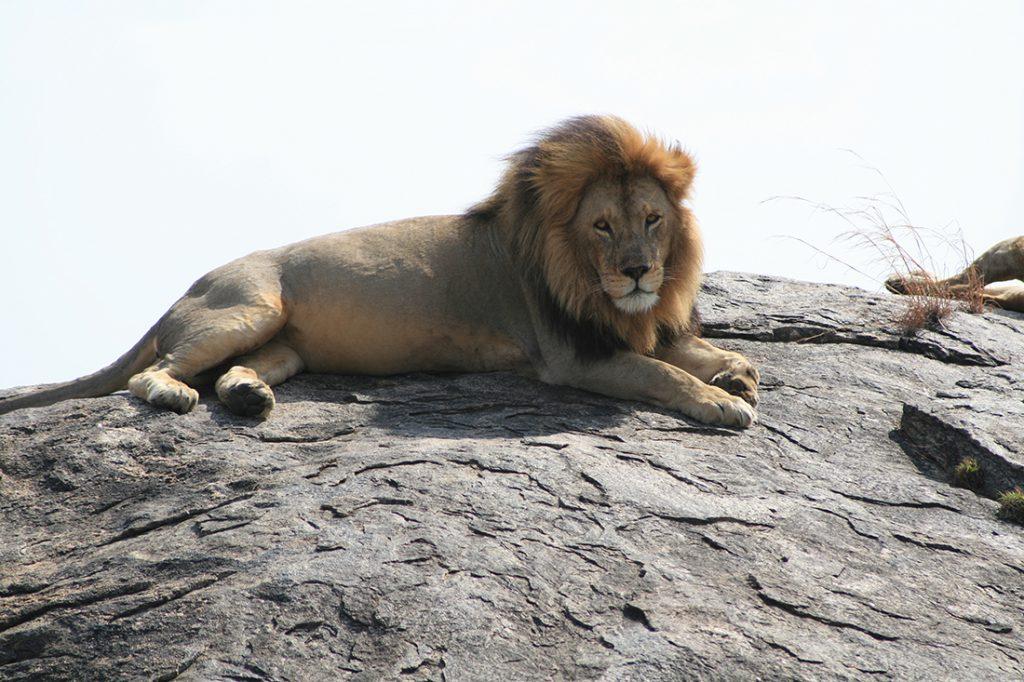 El rey de la selva | Foto © Pilar García