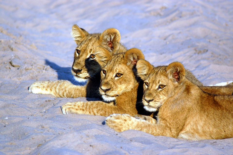 Día mundial del León: Fotografia concurso Viajes Tuareg