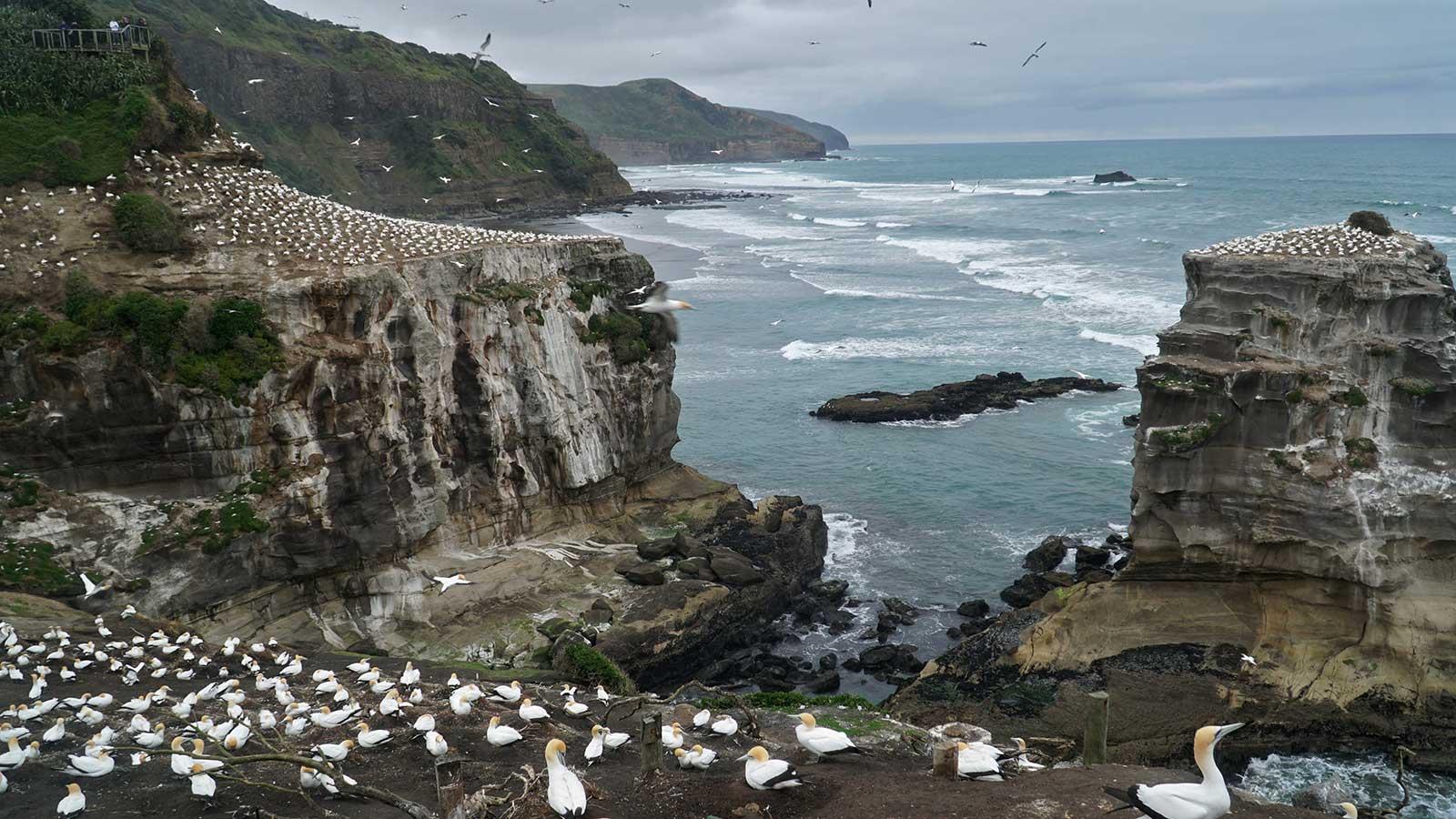 Autor Francisco Fernández efectuada en el viaje a Nueva Zelanda - Gannet colony