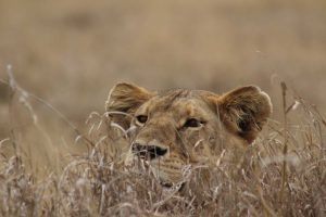 Safaris en Tanzania verano 2019