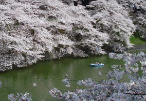 La Sakura >> Viaje a Japón en primavera